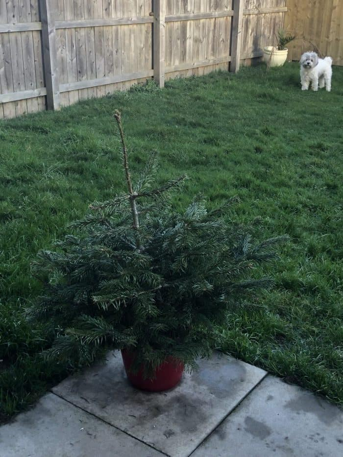 Our potted Christmas tree.