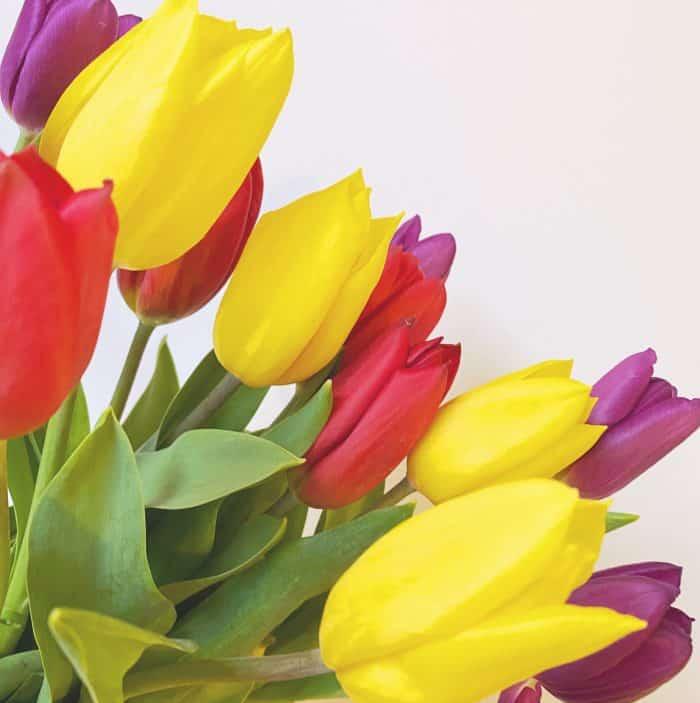 Bargain Tulips