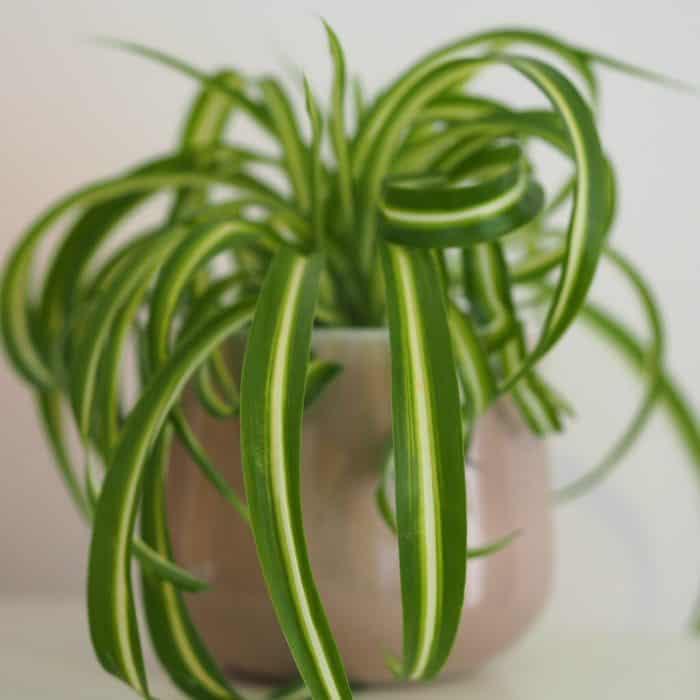 Bargain Plant