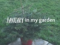 January in my garden....