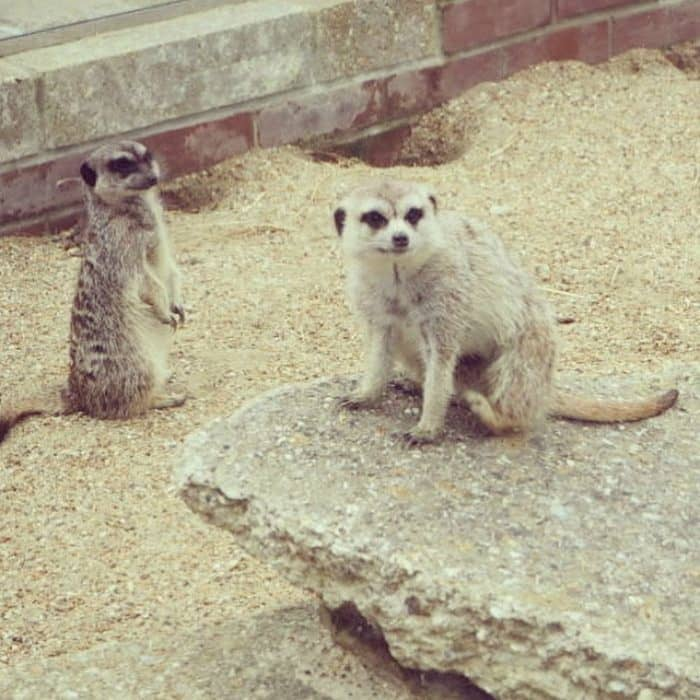 Meerkats at Monkey Haven