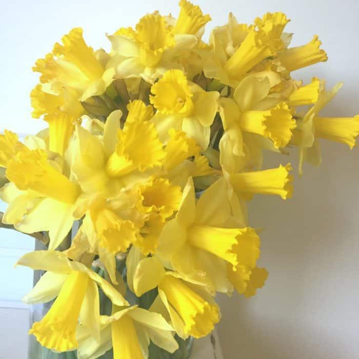 Amazing bargain daffodils