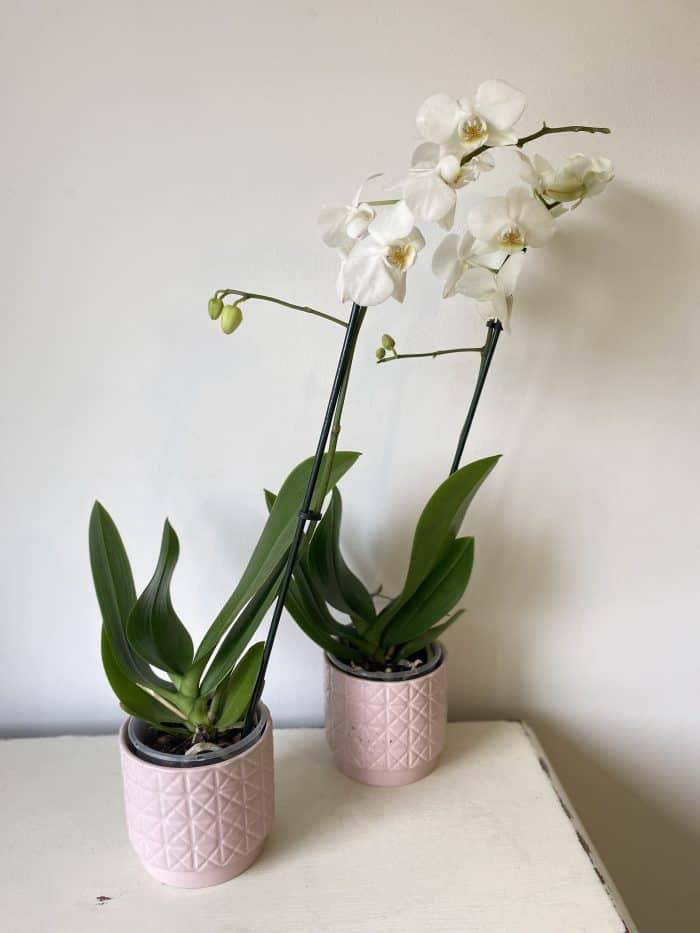 Bargain Orchids