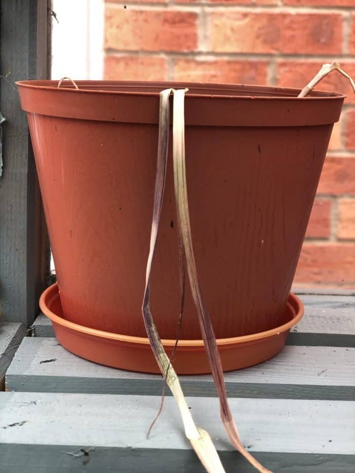 Dead garlic plant